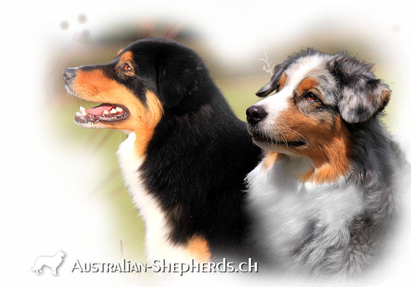 australian-shepherds-schweiz-markgraefler-sunshine-kira&los-perros-locos-cute-flowerpower